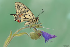 Macaone (Papilio machaon)