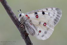Farfalla Apollo (Parnassius apollo)